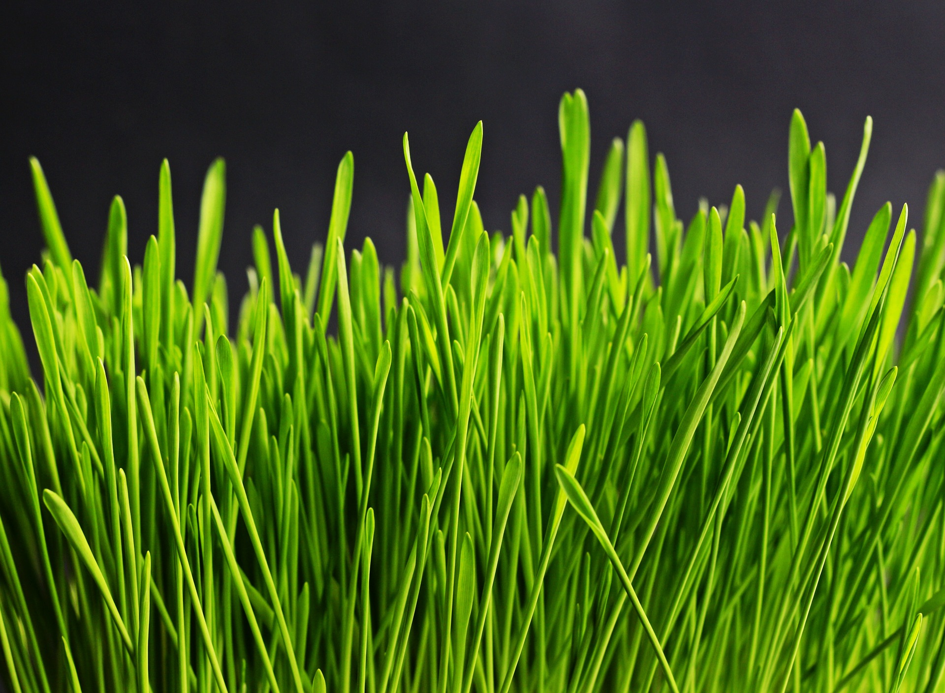 Organic Fermented Wheat Grass